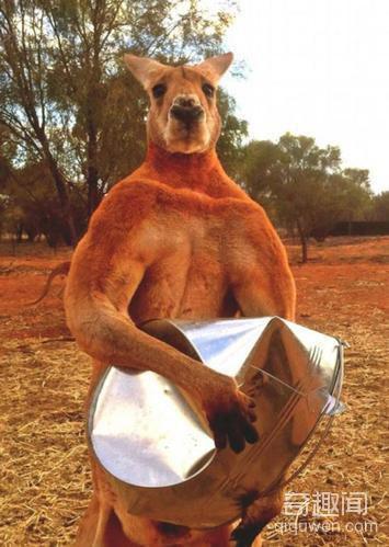 澳大利亚拳击袋鼠走红 是动物界的健美先生