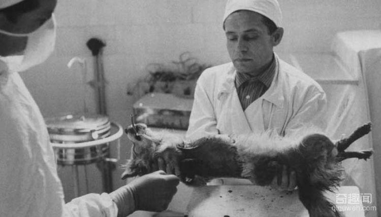 1959年前苏联执行世界第一例狗头移植手术,结局太匪夷所思(2)