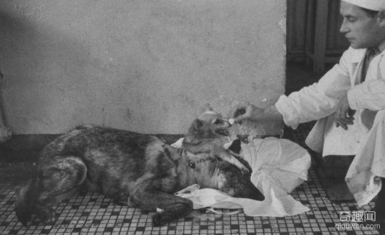 1959年前苏联执行世界第一例狗头移植手术,结局太匪夷所思(3)