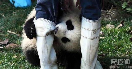 萌翻了!熊猫宝宝骑木马走红