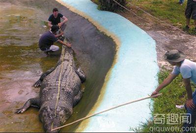世界上最长的鳄鱼 20米长的身躯