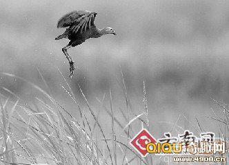 """[图文]紫水鸡是极其珍贵的大型水鸟,被誉为""""世界上最美丽的水鸟"""""""
