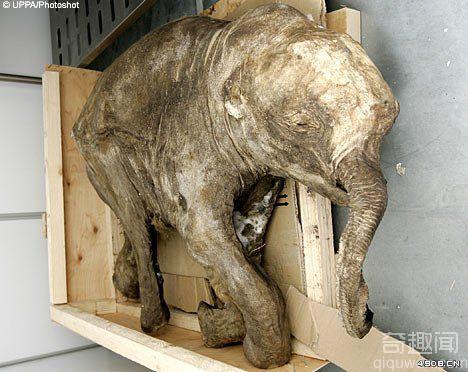 [图文]俄惊现万年木乃伊猛犸 保存最完整的出土动物标本