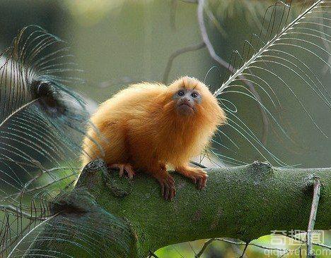 世界上最小的猴子 体重在48克至79克之间 【图】