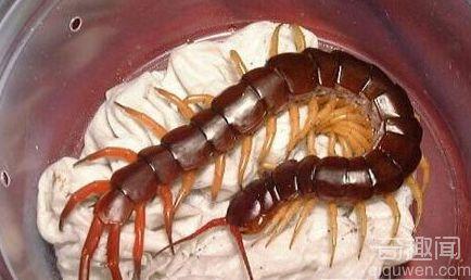全球十大巨型蜈蚣 巨型蜈蚣有毒吗