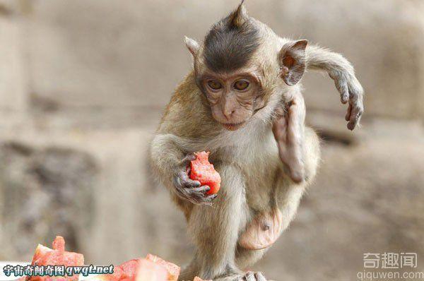 泰国举行猴子自助餐节 千斤水果任其吃