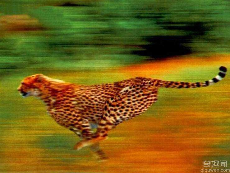世界上跑得最快的动物是猎豹 速度惊人【组图】