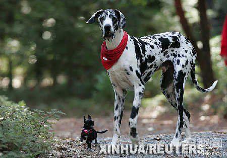 [图文]世界上最高的狗--大丹犬