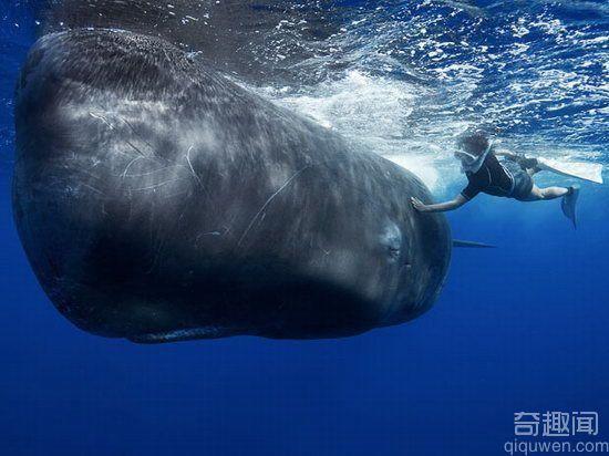 世界上最大的鲸鱼 重190吨