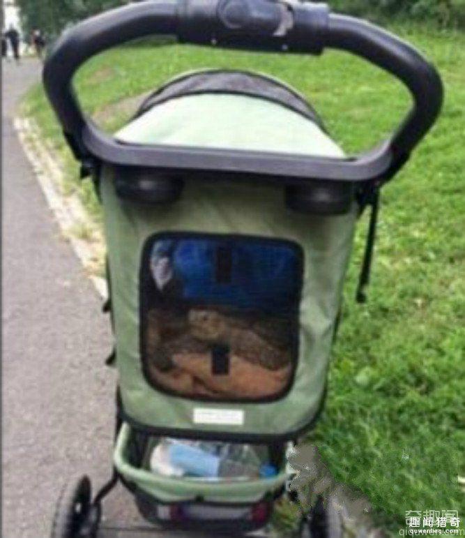 美国女子陪乌龟散步 时薪高达65元