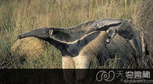 巨型食蚁兽 可单性生殖控制怀孕时间