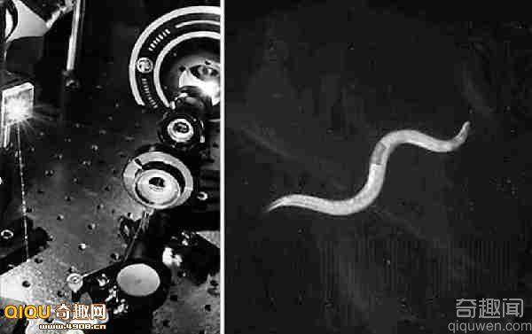 研究人员用激光系统刺激线虫的神经细胞来操控其行为