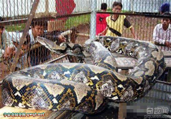 看看这个世界上最大的蛇为什么让你着迷