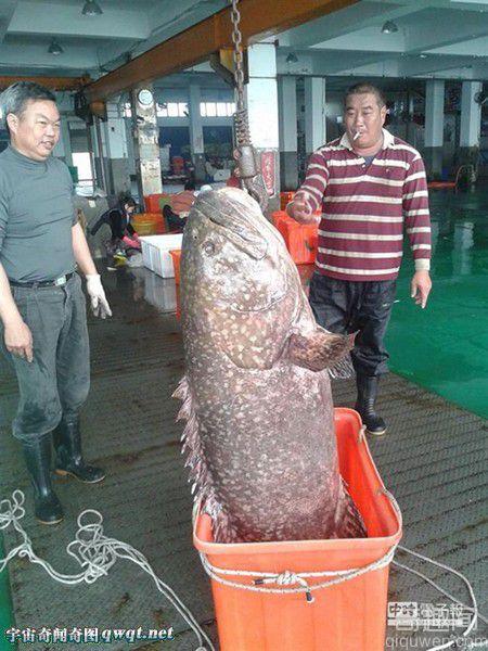 台渔民捕获大石斑鱼:重达132斤身长150公分