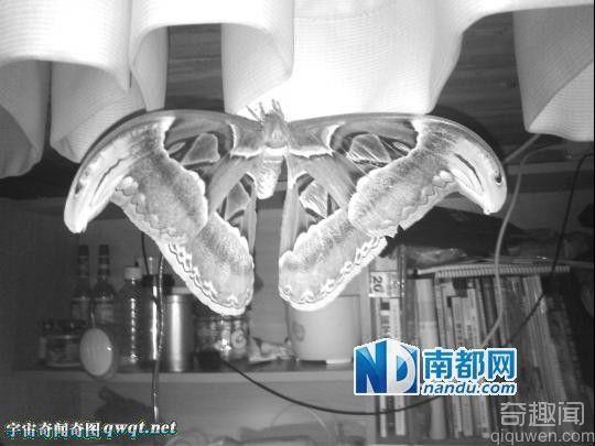 惠州学生宿舍现全球最巨大蛾类