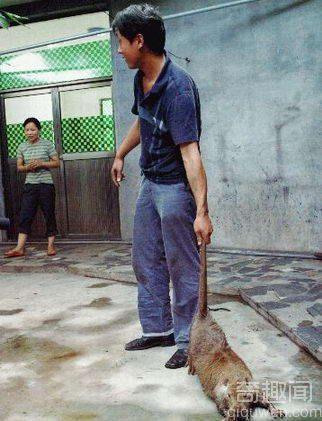 吓坏猫的老鼠 世界上最大的老鼠在哪?