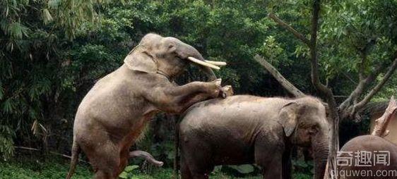 大象交配是怎样的 图解大象交配全过程