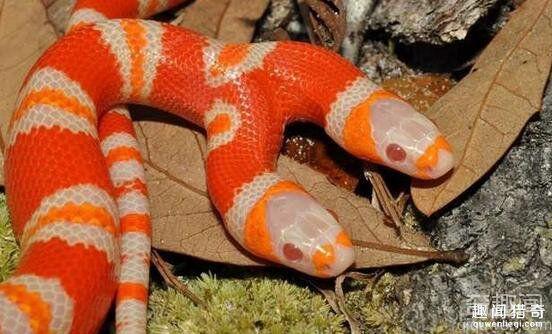 超罕见双头蛇 身价竟35万