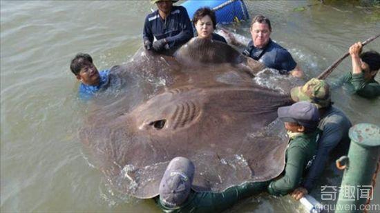 宝鸡大叔钓起大草鱼 1.2米长足足22公斤