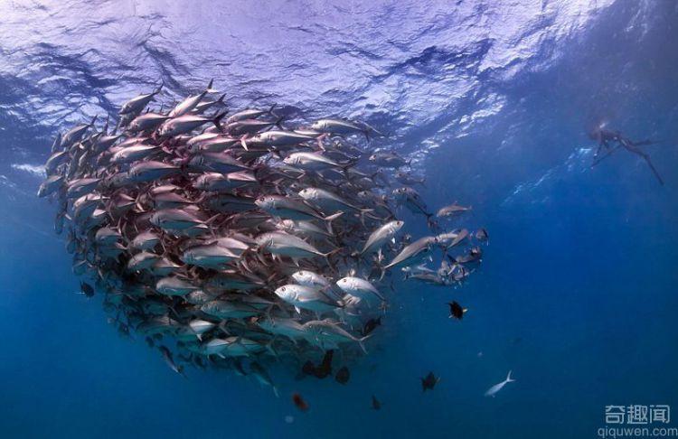 海洋探险家抓拍鱼群龙卷风 令人叹为观止的鱼群旋涡