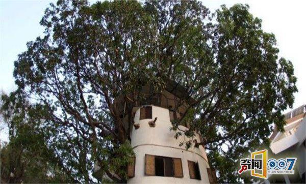 男子在芒果树上建出4层楼高的树屋,游客们排队来参观