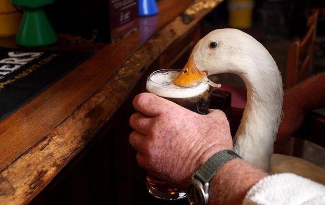 国外一只酒鬼鸭子,喝醉酒后,喜欢找狗狗单挑,结果一战成名!