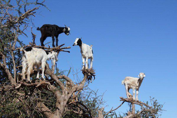 为了生存连羊都会爬树了,网友纷纷感叹:为了混口饭吃真不容易!
