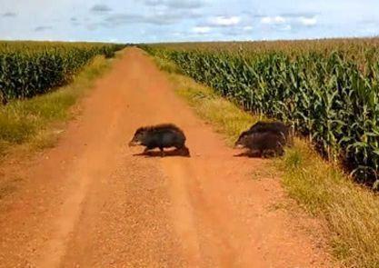 老汉路过玉米地看见一阵骚动,怀疑有贼,刚举棍下一秒掉头就跑
