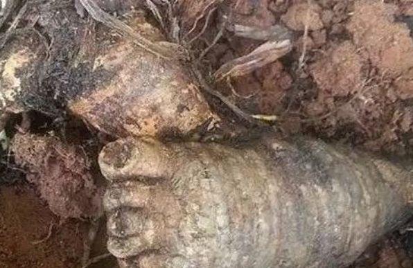 """农村大妈在别人地里,挖到一""""脚型""""植物起了贪心,却被骂了好几天"""