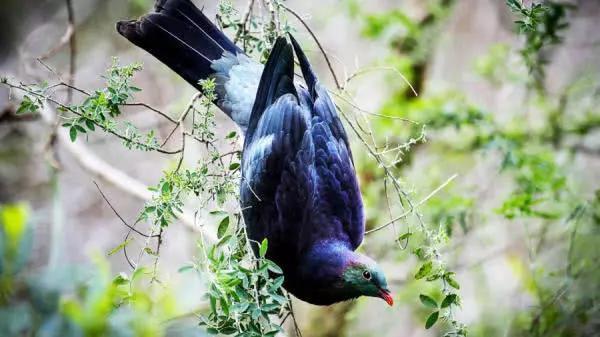 """新西兰有种鸟喜欢""""酗酒"""",经常把自己灌醉,掉地上任人捡!"""
