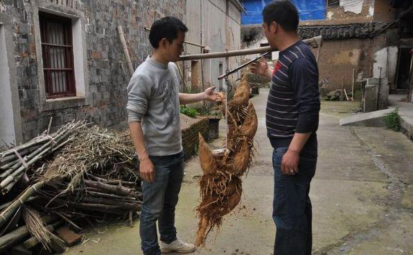 村民野外挖冬笋,一株能卖上1000元,其用途让人不解