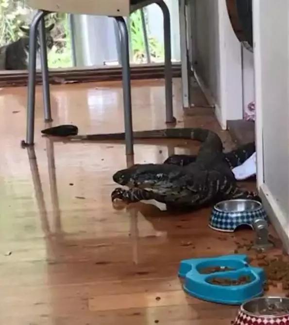 2米巨蜥为觅食,悄悄爬进一户人家里偷吃宠物粮,吓坏主人