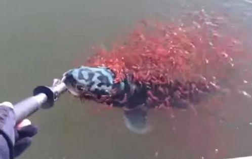 上千鱼宝宝合力救母,想要挣脱鱼钩