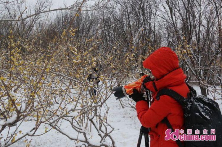 济南千佛山蜡梅园里踏雪寻梅的游客络绎不绝