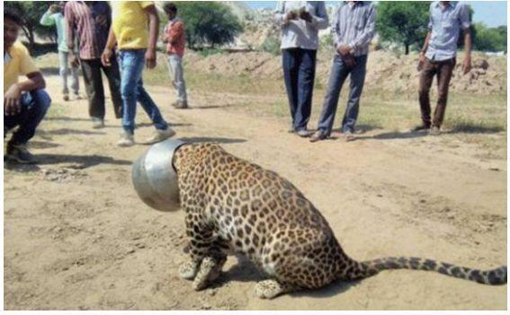 霸气的豹子,自戴头盔,竟是为了这