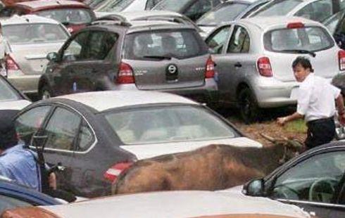 水牛突然闯入车辆堆中,交警协助调查,农民的行为的得到司机点赞