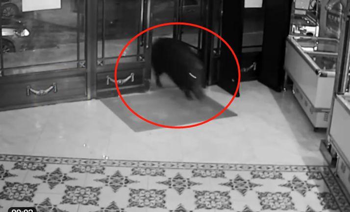 野猪突然冲进KTV包厢,唱歌男女吓得撒腿就跑,民警当场击毙