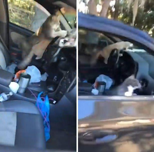 美国一女子停车忘关车窗车被5只流浪猫占领