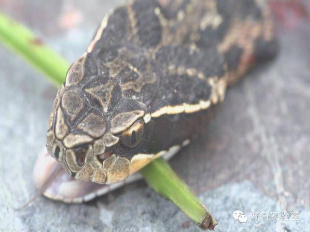 男子捡了一条被轧死的眼镜蛇回家吃,剪蛇头时看了它一眼,竟然差点失明!
