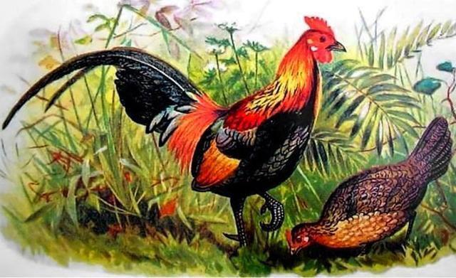 为什么母鸡和公鸡不交配就能下蛋?那公鸡存在有什么意义?