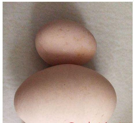 """稀奇!家鸡生了个巨大的""""蛋中蛋"""""""