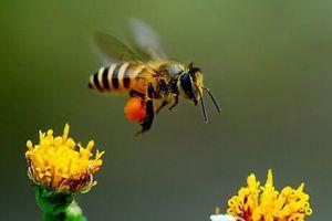 人类第六次大灭绝或源于蜜蜂灭绝多米诺效应
