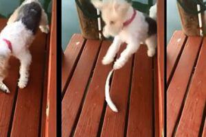小狗在码头被垂死小鱼吓得掉进水中 主人看见大笑不已