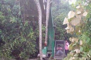 广西村民挖出百岁巨蟒 体重300公斤