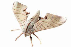 揭秘天蛾利用生殖器振动产生超声波 尤其是蝙蝠