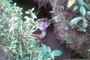 网曝五头蛇的罕见图 引发网民膜拜