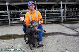 """新西兰农场惊现""""异体小牛"""":拥有2个身子8条腿4只耳朵"""