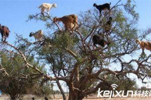动物界四大神秘现象 山羊竟然也会上树