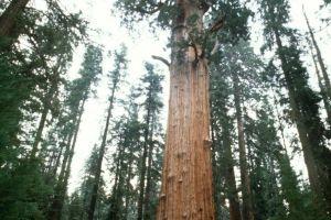 世界第一大树 高度达到83米