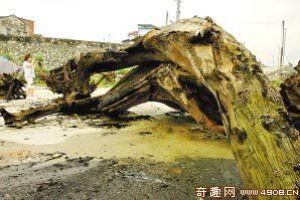 """[图文]广东北江挖砂挖出古树群 价格昂贵堪称""""黄金木"""""""